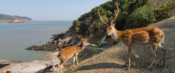 Chasing deer on Daqiu Island